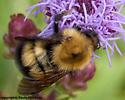 4309  Confusing Bumblebee -  - Bombus perplexus