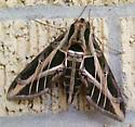 Sphinx moth - Eumorpha vitis