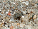 Sand Beetle.. - Ammodonus fossor
