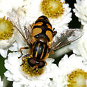 Syrphid - Helophilus obscurus - male