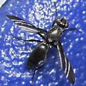 Black Onion Fly - Tritoxa flexa