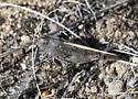 Striped Back Grasshopper - Arphia conspersa