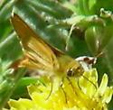 Orange Skiperling ? - Copaeodes aurantiaca