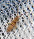 Entomobryidae - Homidia sauteri