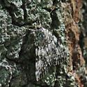 Underwing moth  - Catocala amica-lineella