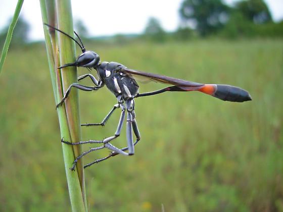 Ammophila sp. - Ammophila procera