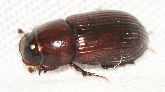 Aphodiinae