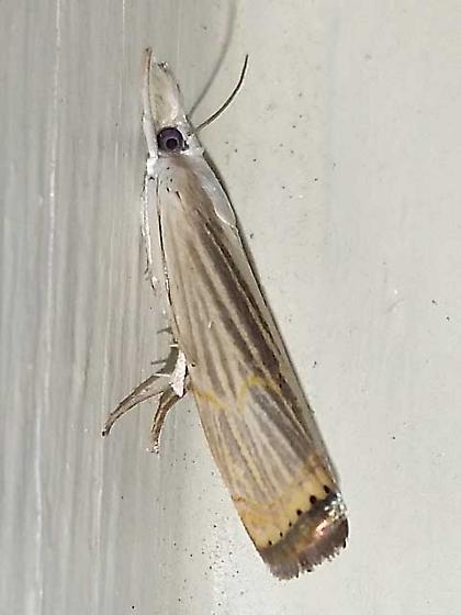 Parapediasia decorellus - Graceful Grass-veneer Moth - Parapediasia decorellus
