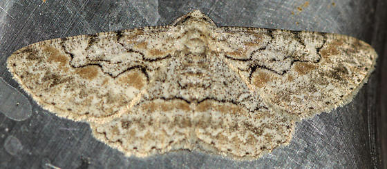 moth121415 - Iridopsis defectaria - male