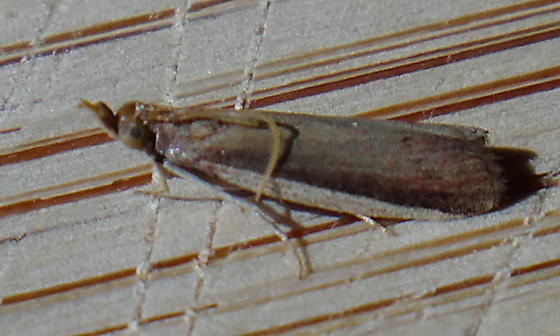 Grass-veneer-like micro - Peoria roseotinctella