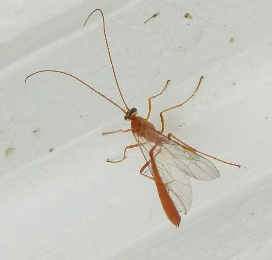 skinny red flying insect with long legs and feelers ophion bugguide net. Black Bedroom Furniture Sets. Home Design Ideas