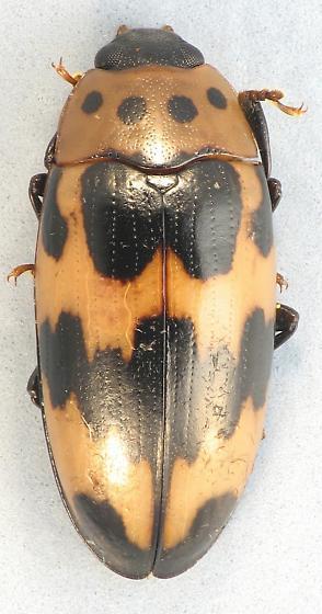 Ischyrus quadripunctatus  - Ischyrus quadripunctatus