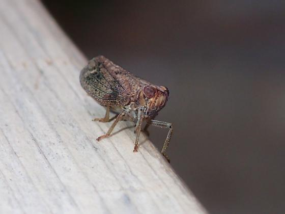 Hemiptera: What species of Issid planthopper? - Thionia