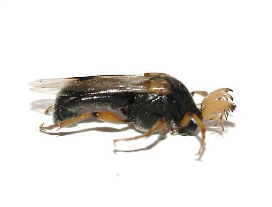 Male - Ripiphorus