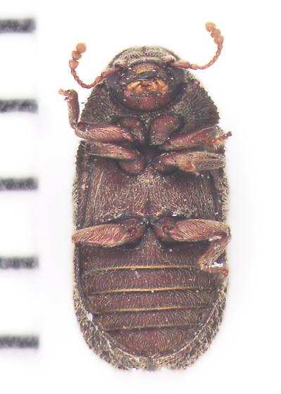 Endecatomidae, ventral - Endecatomus rugosus
