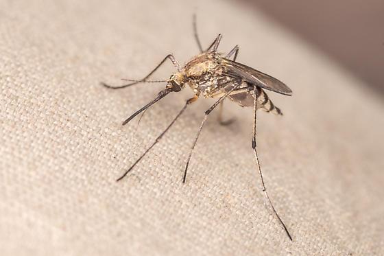 Mosquito - Ochlerotatus trivittatus - female