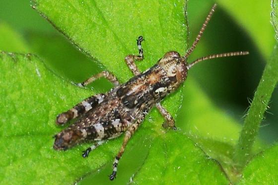 Which Caelifera nymph? - Melanoplus punctulatus