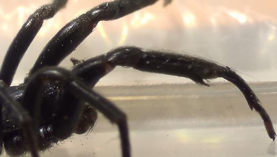 Not a Trapdoor Spider - Plectreurys - male