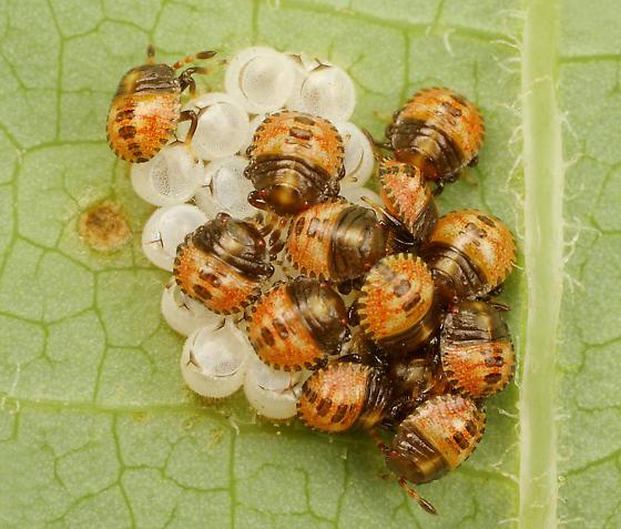 Baby Stinkbugs