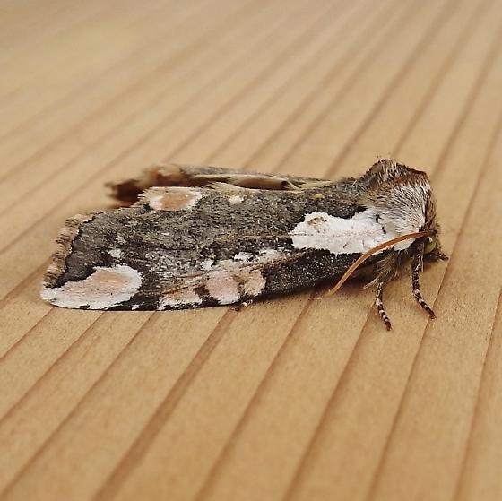 Drepanidae: Euthyatira prudens - Euthyatira pudens