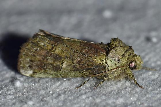 Need ID help with green moth - possibly a prominent.  Thanks! - Schizura unicornis