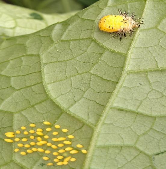 yellow on cuccurbit