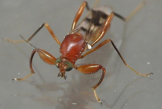 Red Fly - Heteromyia fasciata - female