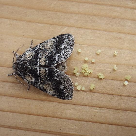 Notodontidae: Gluphisia septentrionis - Gluphisia septentrionis - female