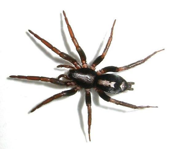 Parson Spider - Herpyllus ecclesiasticus