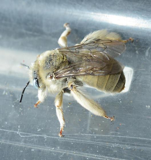 Diadasia ochracea - female