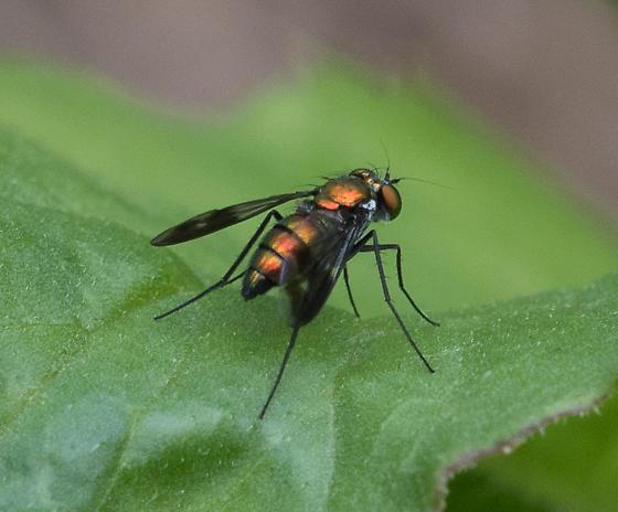 long-legged fly--Condylostylus patibulatus? - Condylostylus patibulatus - female