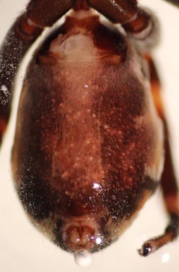 C. dorsata - ventral in alcohol - Castianeira dorsata - female