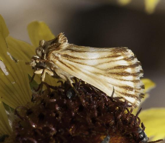 biodiversity! - Eulithosia discistriga