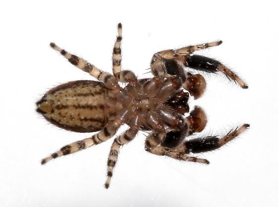 Adult male ventral - Marpissa obtusa - male