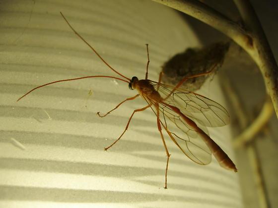 Enicospilus - Enicospilus glabratus
