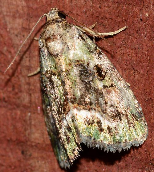 Green brown tan white and fringed moth - Lithacodia musta