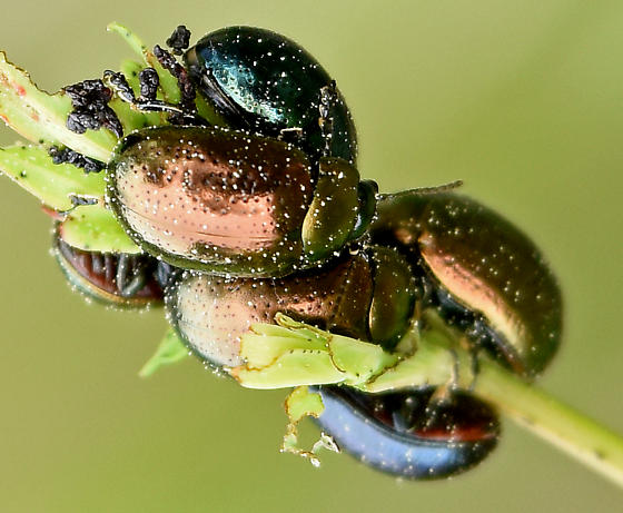 Phaedon viridis? - Chrysolina