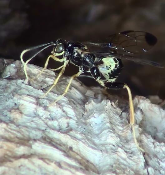 Ichneumonidae: Spilopteron? - Spilopteron franclemonti - female