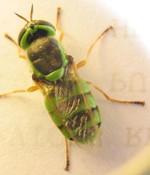 toy-colored fly - Odontomyia cincta - female