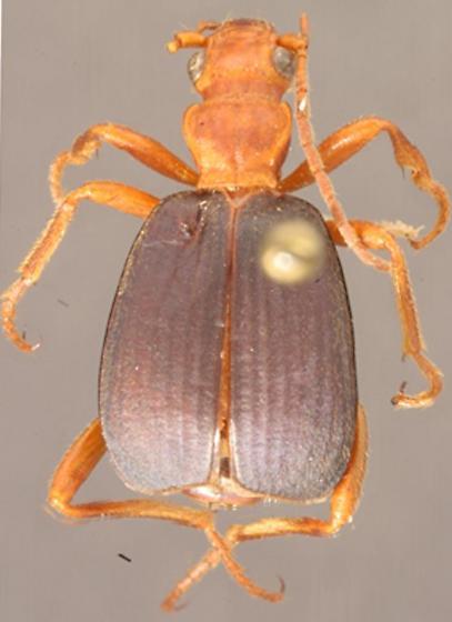 Brachinus tschernikhi Mannerheim - Brachinus quadripennis