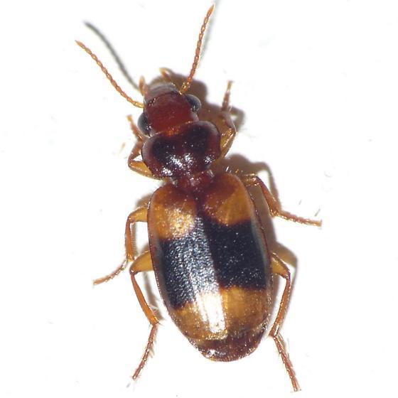 Somotrichus? - Somotrichus unifasciatus