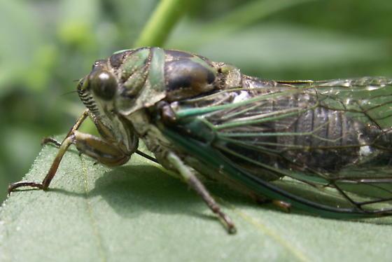 Linne's Annual Cicada - Neotibicen linnei