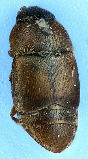 Nit - Colopterus truncatus