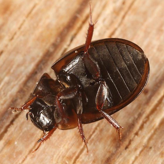 Water Scavenger Beetle - Anacaena limbata