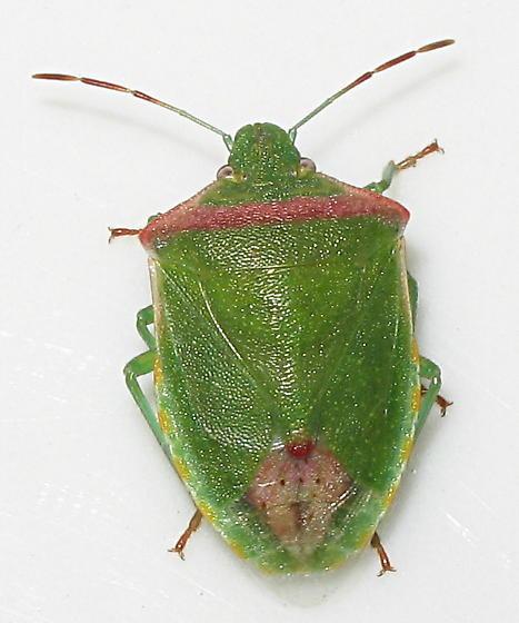 Pentatomidae - Thyanta pallidovirens
