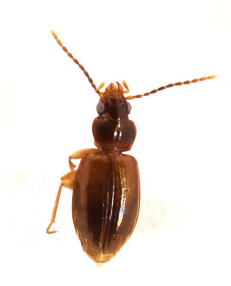 Tachys oblitus (Casey) - Tachys oblitus