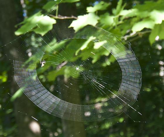 Building her web - Micrathena gracilis - female