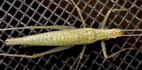 Davis' Tree Cricket - Oecanthus exclamationis - female