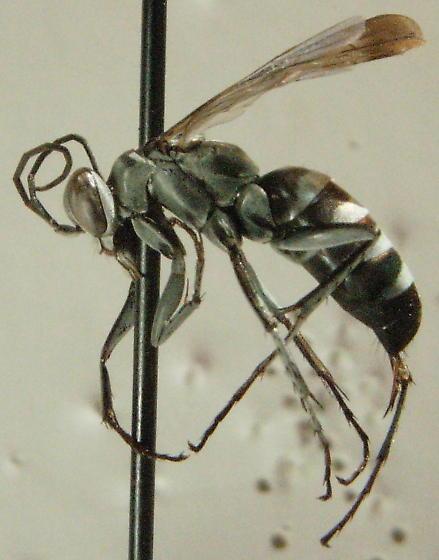 episyron snowi - Episyron snowi - female