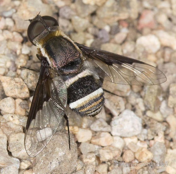 Montosa Cyn Bee Fly from AZ Gathering - Hemipenthes lepidota - male